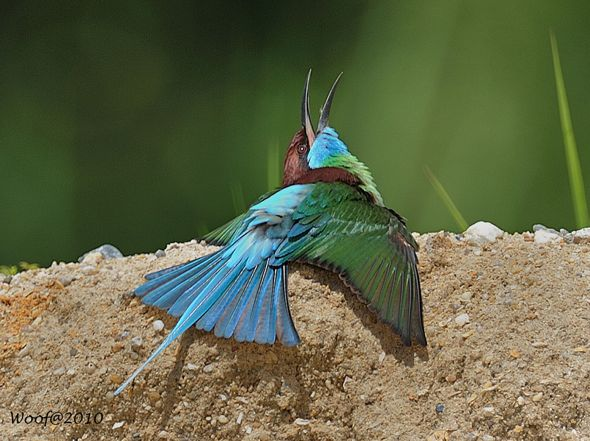 Blue-throated Bee-eater sunning