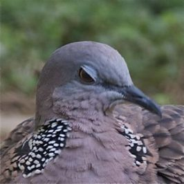 Feeding Spotted Dove: 4. The eyelids
