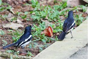 Oriental Magpie-robin catching lizards