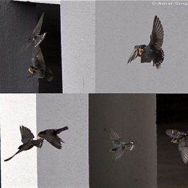 Pacific Swallow family conflict