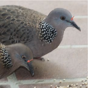 Feeding Spotted Dove: 5. Family visit
