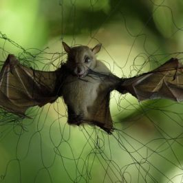 A bat caught in a mist net