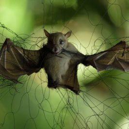 A bat caught in a mist net