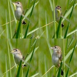 Distracting feeding behaviour of Zitting Cisticola