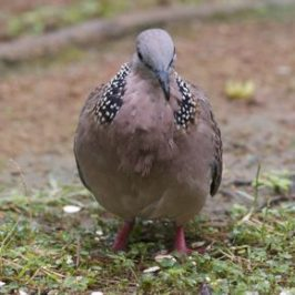 Feeding Spotted Dove: 7. A strange feeding behaviour
