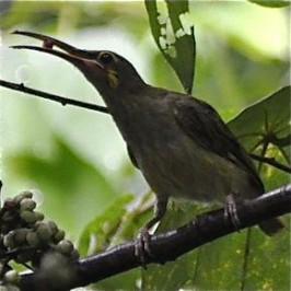 <em>Macaranga bancana</em>: More birds feeding on fruits