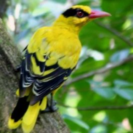 Black-naped Oriole – plumage difference
