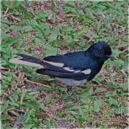 Oriental Magpie Robin: Vocalisation