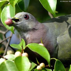 Birds and fruiting Ficus benjamina in Ipoh, Malaysia