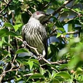 Birds and fruiting <em>Ficus benjamina</em> in Ipoh, Malaysia
