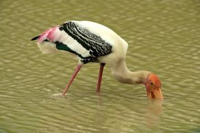 Painted Stork catches a crab