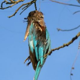 Another White-throated Kingfished strangled by kite string