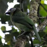 Fire-tufted Barbet's calls