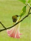 Streaked Spiderhunter stealing nectar from angel's trumpet