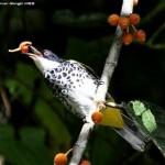 Scaly-breasted Bulbul feeding on <em>Ficus villosa</em>