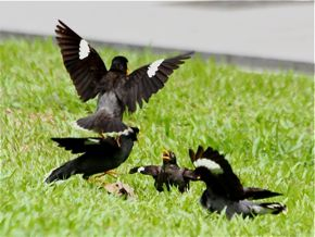 Javan Mynas in a fight