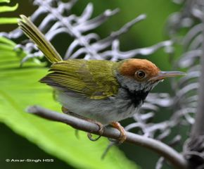 Encounter with a family of Dark-necked Tailorbird