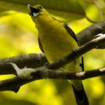 Common Iora collecting cocoon as nesting material