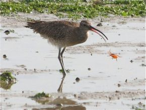 Whimbrel feasting on fiddler crabs