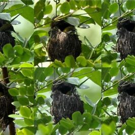 Nesting behaviour of Yellow-vented Flowerpecker
