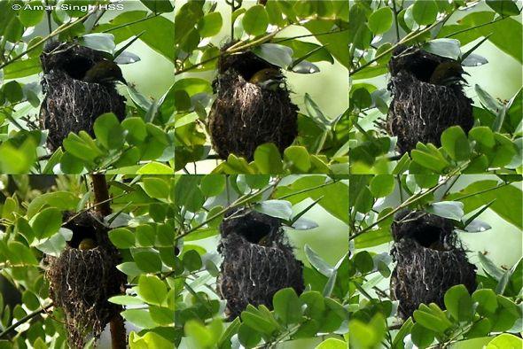 Nesting behaviour of Yellow-vented Flowerpecker