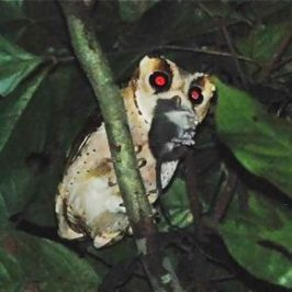 Oriental Bay Owl calling throughout the night