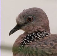 Feeding Spotted Dove: 8. Aggression