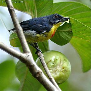 Crimson-breasted Flowerpecker feeding on guava