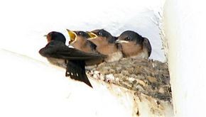 How frequent do Pacific Swallows breed?
