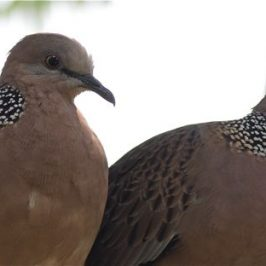 Feeding of Spotted Dove: 9. Her partner has returned
