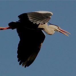 Grey Heron displays tongue in flight