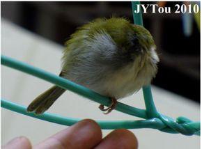 Sleeping behaviour of the Common Tailorbird