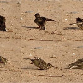 Paddyfield Pipit sand bathing and in moult