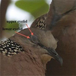 Feeding Spotted Dove: 10. More on eyelids