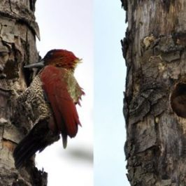 Banded Woodpecker excavating nest and vocalisation