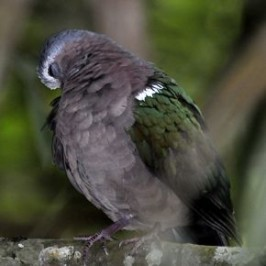 Emerald Dove encounter and eyelids