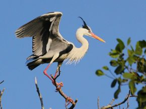 Grey Heron in breeding and non-breeding plumage