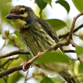 More on Coppersmith Barbets' feeding behaviour