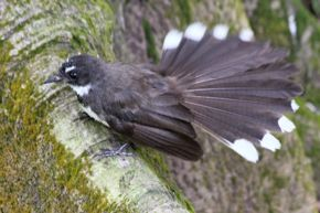 Foraging Pied Fantails