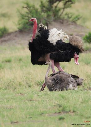 Mating Ostriches