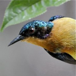 Iridescent 'moustachial stripe' of the Ruby-cheeked Sunbird