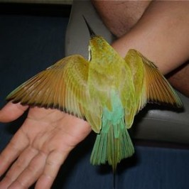 A Blue-tailed Bee-eater lost its way due to the thick haze
