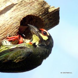 Of breeding Coppersmith Barbet: A chronological summary (Part 9)