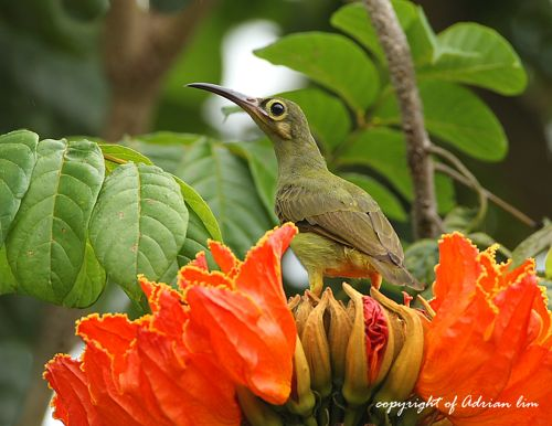 Spiderhunters and African tulip