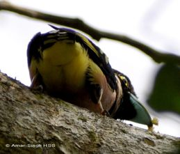 Broadbills and their diet