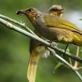 <strong>Striped-throated Bulbul</strong>