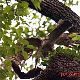Crested Goshawk hunting squirrel