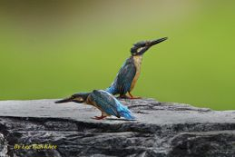 Common Kingfishers in confrontation