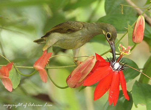 Spectacled Spiderhunter and passiflora