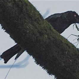 Greater Racket-tailed Drongo catching praying mantis